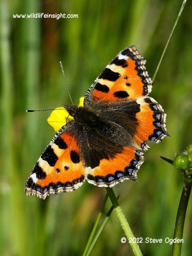 small tortoiseshell butterfly 0735
