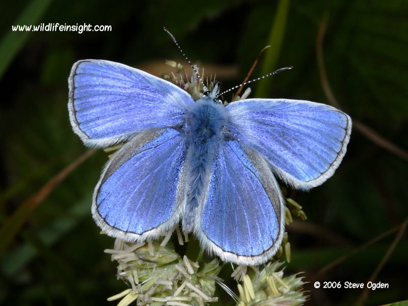 Common Blue butterfly (Polyommatus icarus) - male © 2006 Steve Ogden