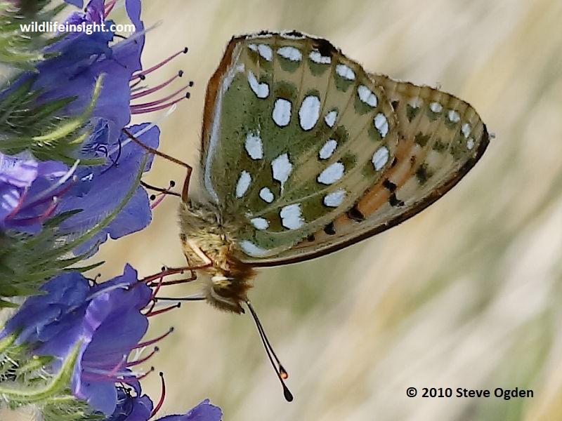 Dark Green Fritillary butterfly nectaring on viper's bugloss