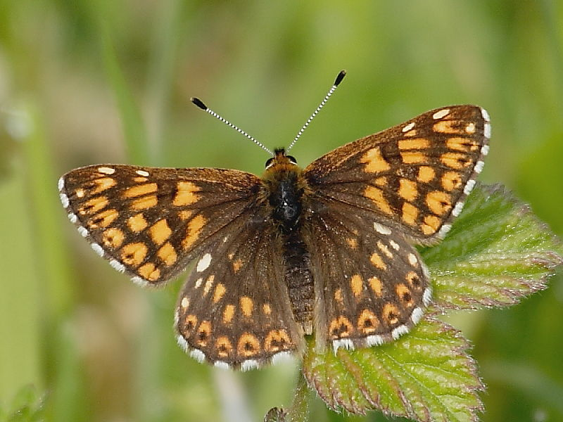 Metalmark butterflies