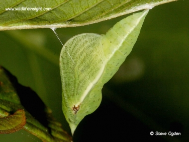 Brimstone butterfly chrysalis