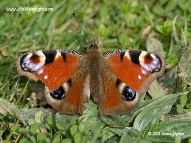 Peacock butterfly 6725