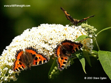 Small Tortoiseshell Butterflies 4023