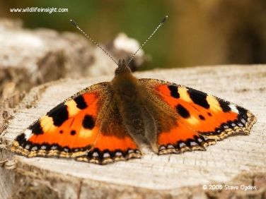 Small Tortoiseshell butterfly 0596