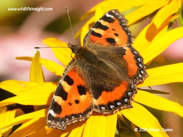 Small Tortoiseshell Butterfly (Aglais urticae) © 2010 Steve Ogden