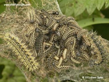 Small Tortoiseshell caterpillars 2333