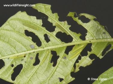 brimstone butterfly 1 week old caterpillars feeding