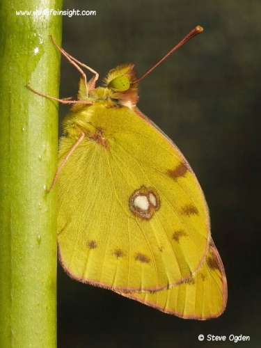 Clouded Yellow Butterfly (Colias croceus)- newly emerged from chrysalis