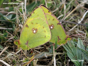 Clouded Yellow Butterfly (Colias croceus) pair