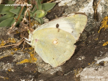 Clouded Yellow Butterfly (Colias croceus) heleci female form