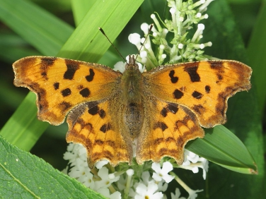 Comma butterfly (Polygonia c-album) - form hutchinsoni