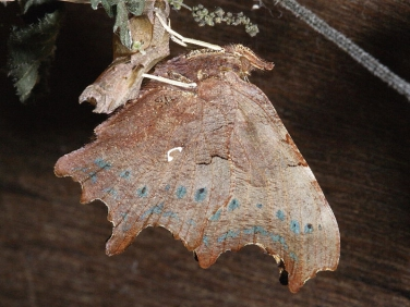 Comma butterfly (Polygonia c-album) - underside identification features