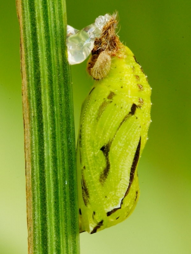 Meadow Brown (Maniola jurtina) chrysalis reattached using super glue