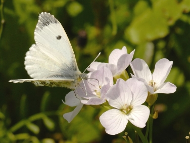 1533 Orange tip butterfly laying on Milk Maid