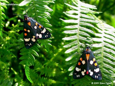 2068 Scarlet Tiger Moths (Callimorpha dominula) resting on ferns