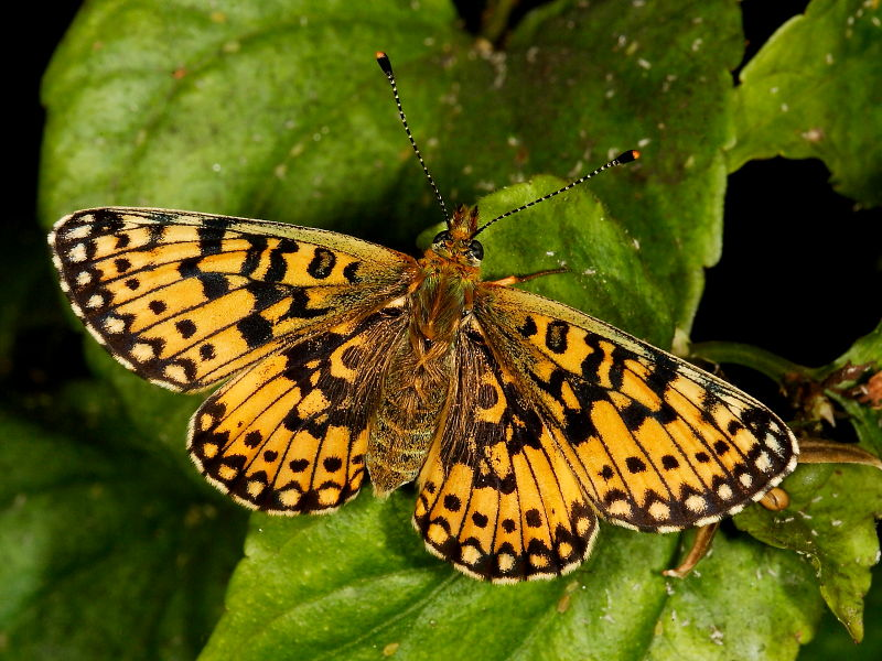 Female Small Pearl-bordered Fritillary butterfly
