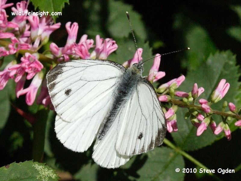 Green-veined White Butterfly (Pieris napi) © 2010 Steve Ogden