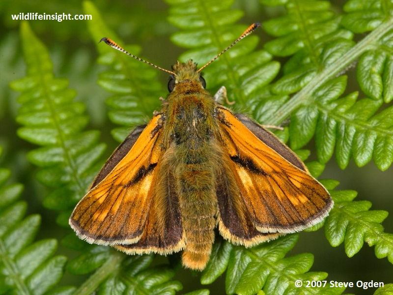 Male Large Skipper butterfly, Ochlodes venata