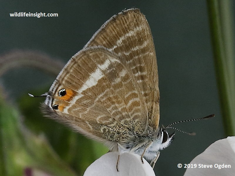 Migrant Long-tailed Blue butterfly in Cornwall