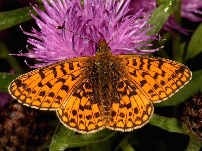 Male Small Pearl-bordered Fritillary butterfly
