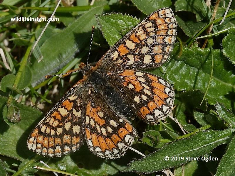 Marsh Fritillary butterfly-Euphydryas-aurina