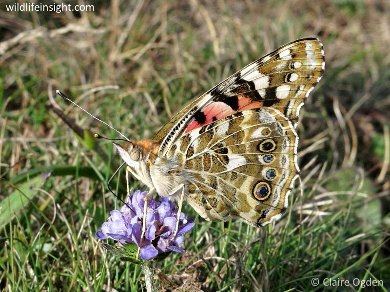 Painted Lady butterfly nectaring on Devil's-bit Scabious (Succisa pratensis) © Claire Ogden