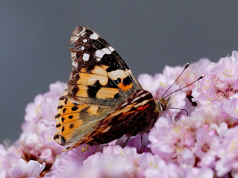 Painted Lady Butterfly Migration To The British Isles