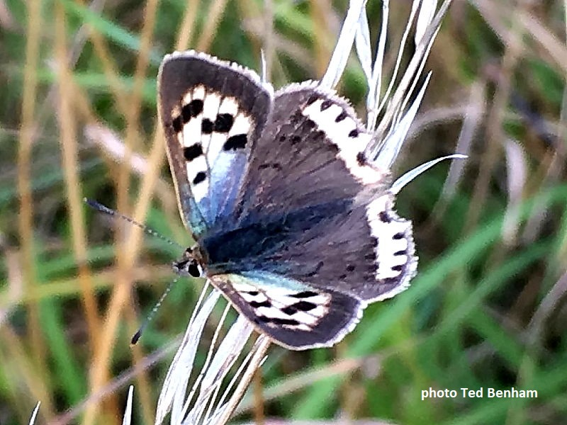 Small Copper Butterfly white and blue aberration  (Lycaena phlaeas) Wiltshire, Uk photo Ted Benham