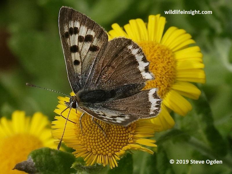 Small Copper Butterfly white form (Lycaena phlaeas) on fleabane-Lizard Peninsular-Cornwall-© 2019 Steve Ogden