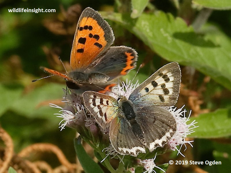 Normal orange form of Small Copper Butterfly nectaring next to a white form on The Lizard, Cornwall © 2019 Steve Ogden