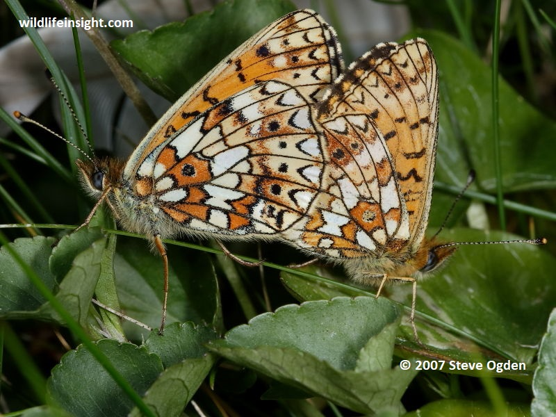 Mating pair of Small Pearl-bordered Fritillary butterflies