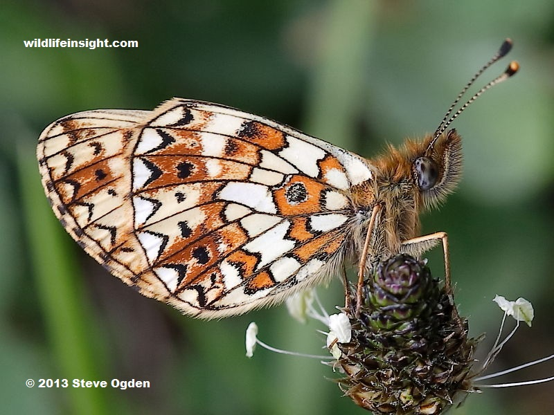 Underside identification of Small Pearl-bordered Fritillary