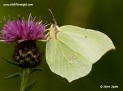 Brimstone butterfly (Gonepteryx rhamni) female