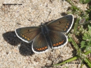Male Brown Argus Butterfly (Plebejus argus)