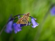 The Chequered Skipper butterfly Heteropterus morpheus in Scotland