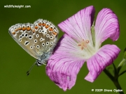 Common Blue butterfly (Polyommatus icarus) female nectaring on geranium flower