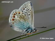 Common Blue butterfly (Polyommatus icarus) male underside