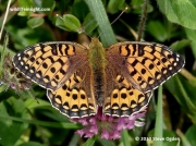 Dark Green Fritillary  butterfly (Argynnis aglaja)-female