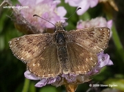 Dingy Skipper butterfly (Erynnis tages)