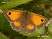 Gatekeeper butterfly (Pyronia tithonus) female