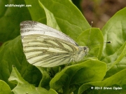Green-veined White Butterfly (Pieris napi) female on spinach © 2012 Steve Ogden