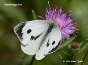 Large White butterfly (Pieris brassicae) female