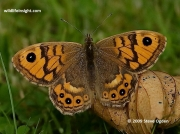 Wall Brown butterfly (Lasiommata megera) female