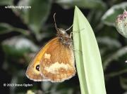 Gatekeeper butterfly (Pyronia tithonus) underside