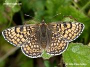 Glanville Fritillary Butterfly (Melitaea cinxia) ©-2006-steve-ogden