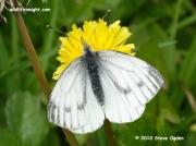 Green-veined White Butterfly  (Pieris napi) nectaring on dandelion © 2010 Steve Ogden