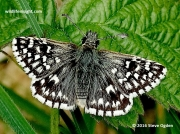 Grizzled Skipper butterfly  (Pyrgus malvae)