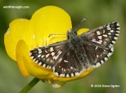 Grizzled Skipper butterfly (Pyrgus malvae) nectaring on Buttercup