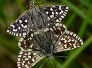 Grizzled Skipper (Pyrgus malvae) pair of mating butterflies