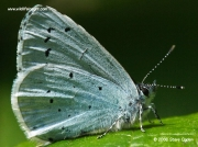 Holly Blue butterfly (Celastrina argiolus) nectaring on aphid honeydew